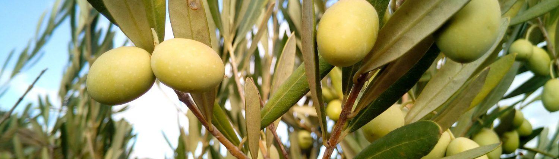 Frutas y hojas de olivo